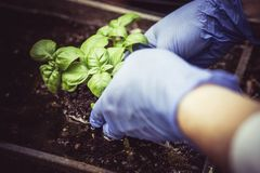 Basil leaves Gardening and planting. royalty free stock image