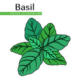 Basil leaves green. Hand drawn isolated  basil leaves on white background.  Herbal Ingredient for traditional cuisine, medicine, treatment, cooking, gardening Royalty Free Stock Photo