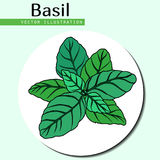 Basil leaves green. Hand drawn isolated  basil leaves on white background.  Herbal Ingredient for traditional cuisine, medicine, treatment, cooking, gardening Stock Photo
