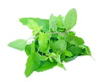 Basil leaves herb pile on white background. Ocimum basilicum vegetable Nourish the health body royalty free stock image