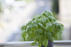 Basil leaves herbs. Sweet basil plant in a vase, behind a window Royalty Free Stock Photography