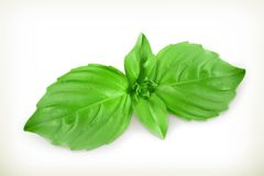 Basil leaves  illustration Royalty Free Stock Photography