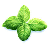Basil leaves isolated. Watercolor painting on white background Stock Photography