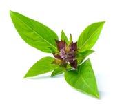Basil leaves. Isolated on white background Stock Photo