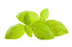 Basil. Leaves isolated on white background stock images