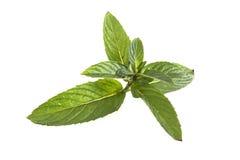 Basil leaves. Isolated on white background Stock Photos