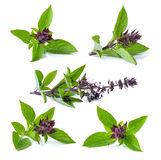 Basil leaves Royalty Free Stock Photos