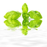 Basil leaves isolated on a white background Royalty Free Stock Photos