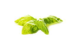Basil leaves isolated on a white background Royalty Free Stock Images
