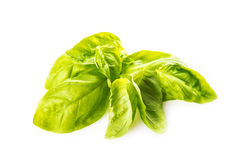 Basil leaves isolated on a white background Royalty Free Stock Image