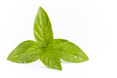 Basil Leaves Isolation Stock Photography