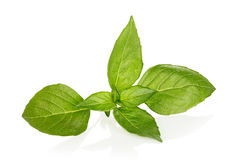 Basil leaves Stock Photography