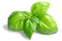Basil O. basilicum leaves, top, paths. Basil leaves Ocimum basilicum. Shadows separated, clipping paths stock photography