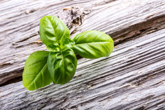 Basil leaves on a old wooden table Royalty Free Stock Images