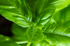 Basil. Leaves of a basil plant used as a seasoning herb royalty free stock photography