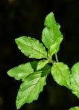 Basil Leaves Planta de la albahaca en fondo oscuro Fotografía de archivo
