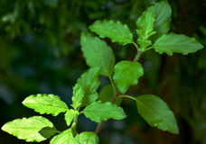 Basil Leaves Planta de la albahaca en fondo oscuro Imagen de archivo libre de regalías