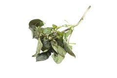 Basil leaves rot Royalty Free Stock Image