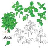 Basil Leaves  Set Royalty Free Stock Photo