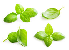 Basil leaves spice closeup. Royalty Free Stock Images