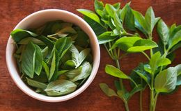 Leaves of basil, used in seasonings, sauces, salads. royalty free stock photography