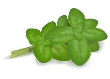 Basil leaves. Vector. Group of green basil leaves. Vector Stock Photography