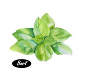 Basil leaves watercolor illustration Stock Photography
