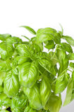Basil Royalty Free Stock Image