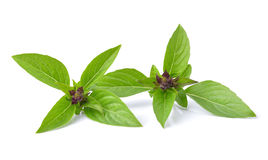 Basil leaves  on white background Royalty Free Stock Photography