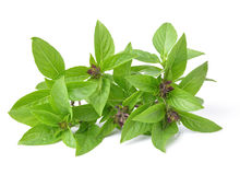 Basil leaves on white background Stock Image