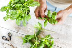 Basil leaves. On a white wooden kitchen table Stock Image
