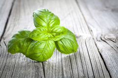 Basil leaves Stock Images