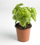 Basil love. Fresh ground basil  in a pot Royalty Free Stock Photos