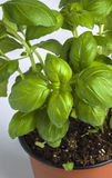 Basil love. Fresh ground basil in a potn Royalty Free Stock Images
