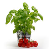 Fresh basil in a metal bucket, tomatoes Royalty Free Stock Photo