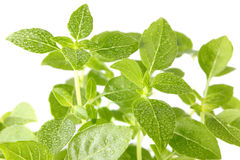 Basil mini with drop dew Royalty Free Stock Image