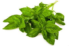 Basil (Ocimum basilicum) Royalty Free Stock Photo