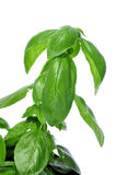 Basil, Ocimum basilicum Obrazy Stock