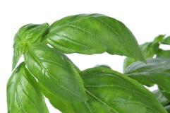 Basil, Ocimum basilicum Obraz Stock