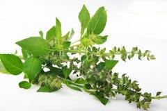Basil - Ocimum basilicum fotografia stock