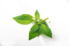 Basil - Ocimum basilicum Stock Photo