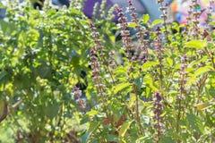 Basil (Ocimum basilicum Linn) Stock Photos