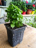 Basil (Ocimum basilicum) Royalty Free Stock Photography