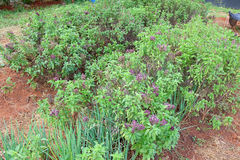 Basil and onion plants in the farm Royalty Free Stock Photo