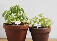 Basil and oregano Royalty Free Stock Photos