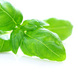 Basil over White Background Stock Images