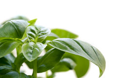 Basil over White Royalty Free Stock Image