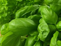 Basil and parsley, close-up Stock Photos