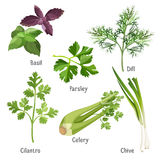 Basil, parsley and dill, fresh cilantro, stem of chive, celery. Herbs and plants colorful vector poster on white. Collection of basil bunches, green parsley and Stock Photography