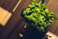 Basil Plant photos libres de droits